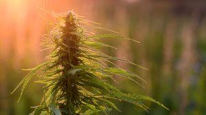 Cannabis-cancer-healing